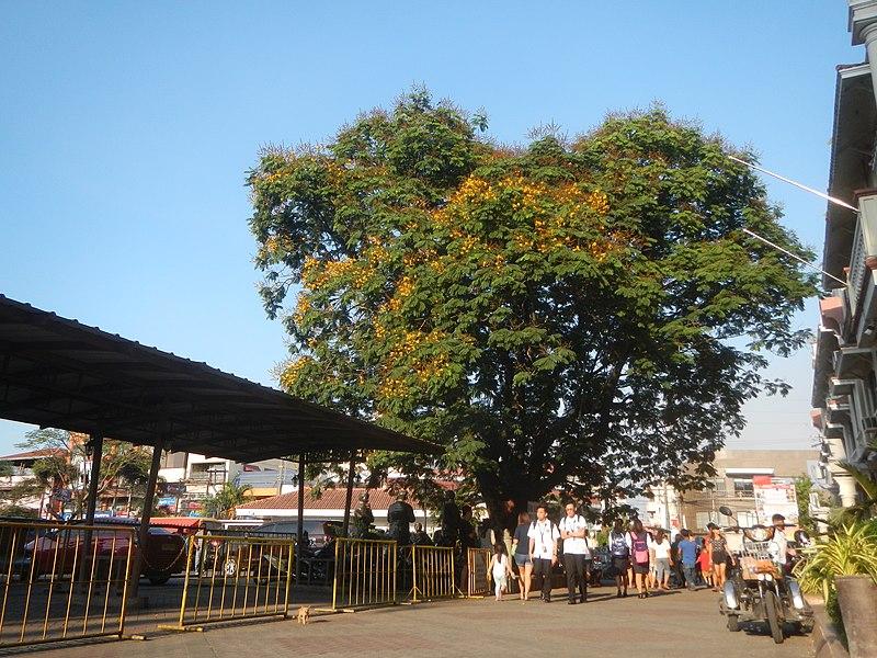 The Kalayaan Tree malolos bulacan